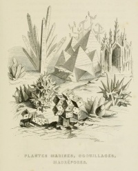 Aquatic plants, seashells and madrepores from Un autre monde (1844) by Grandville