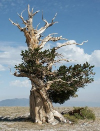The Bristlecone Pine can reach an age far greater than that of any other single living organism known, up to nearly 5,000 years.