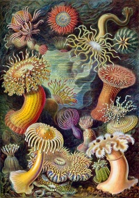 Kunstformen der Natur (1904) by Ernst Haeckel The 49th plate from Ernst Haeckel's Kunstformen der Natur of 1904, showing various sea anemones classified as Actiniae.