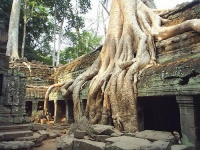 Roots of a Tetrameles nudiflora tree  at an abandoned temple in Cambodia